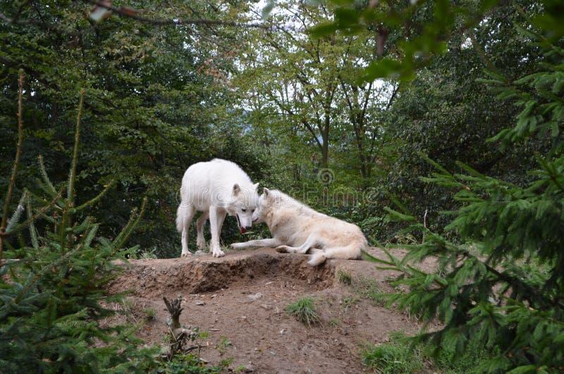 arktiska wolves arkivfoto