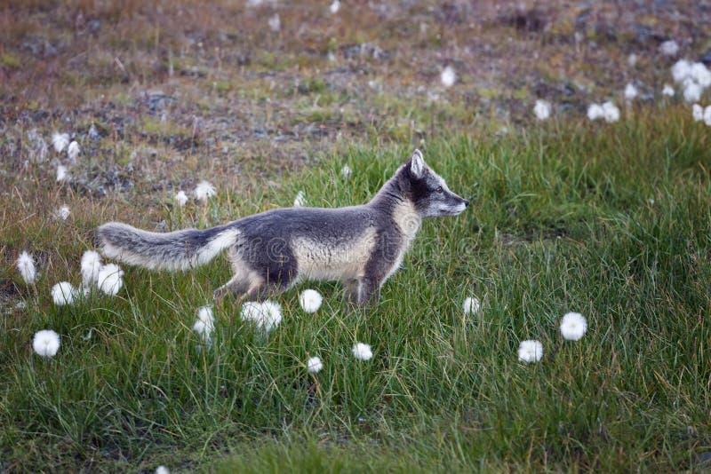 arktycznego lisa lato Svalbard fotografia stock