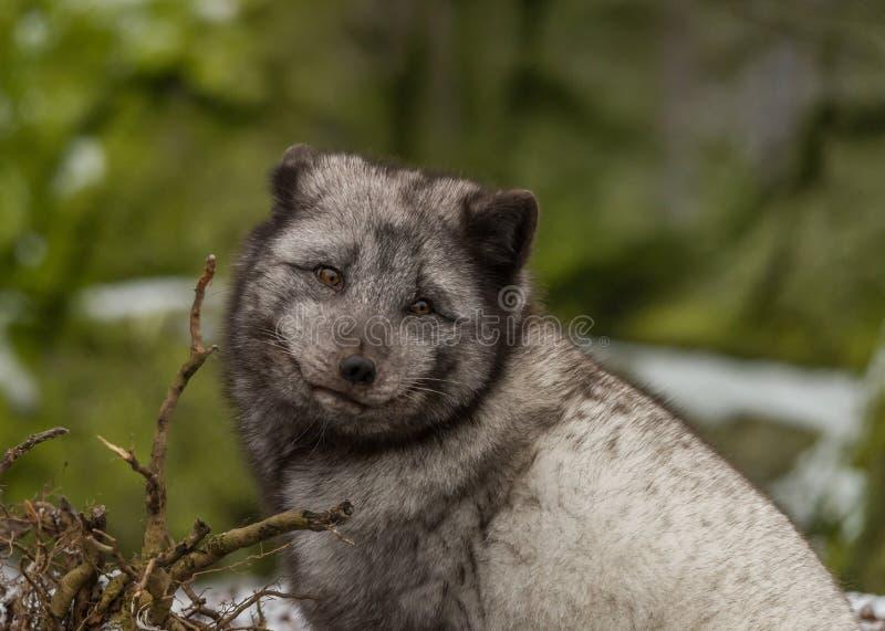 arktycznego lisa portret fotografia stock