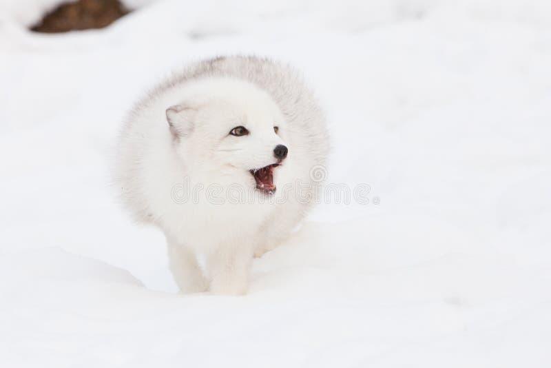 Arktycznego lisa szczekanie obraz stock
