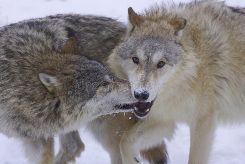 arktyczni szarzy wilki obraz royalty free