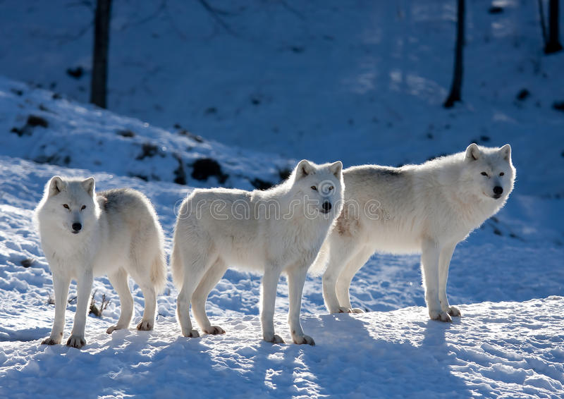 Arktyczni wilki na skalistej falezie w zimie fotografia stock