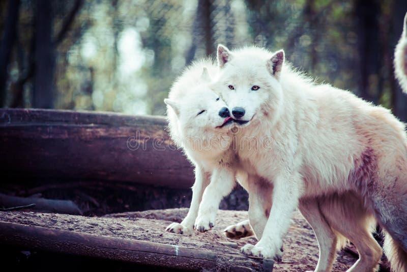 arktyczny biały wilk fotografia royalty free