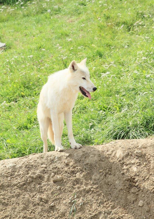 arktyczny biały wilk obraz royalty free