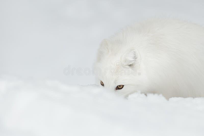Arktyczny Fox zdjęcie royalty free