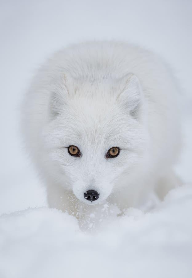 Arktyczny Fox zdjęcia royalty free