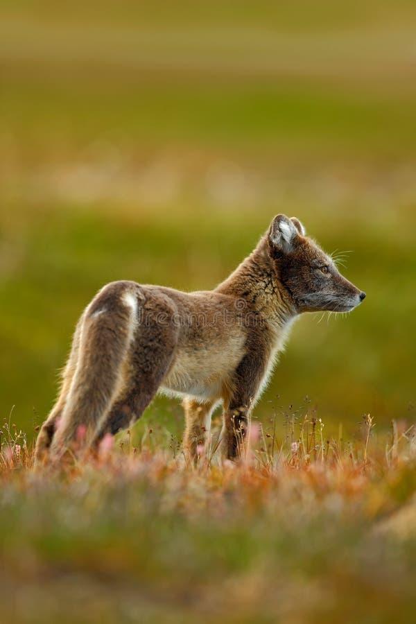 Arktyczny Fox, Vulpes lagopus, dwa potomstwa w natury siedlisku, trawy łąka z kwiatami, Svalbard, Norwegia zdjęcie stock