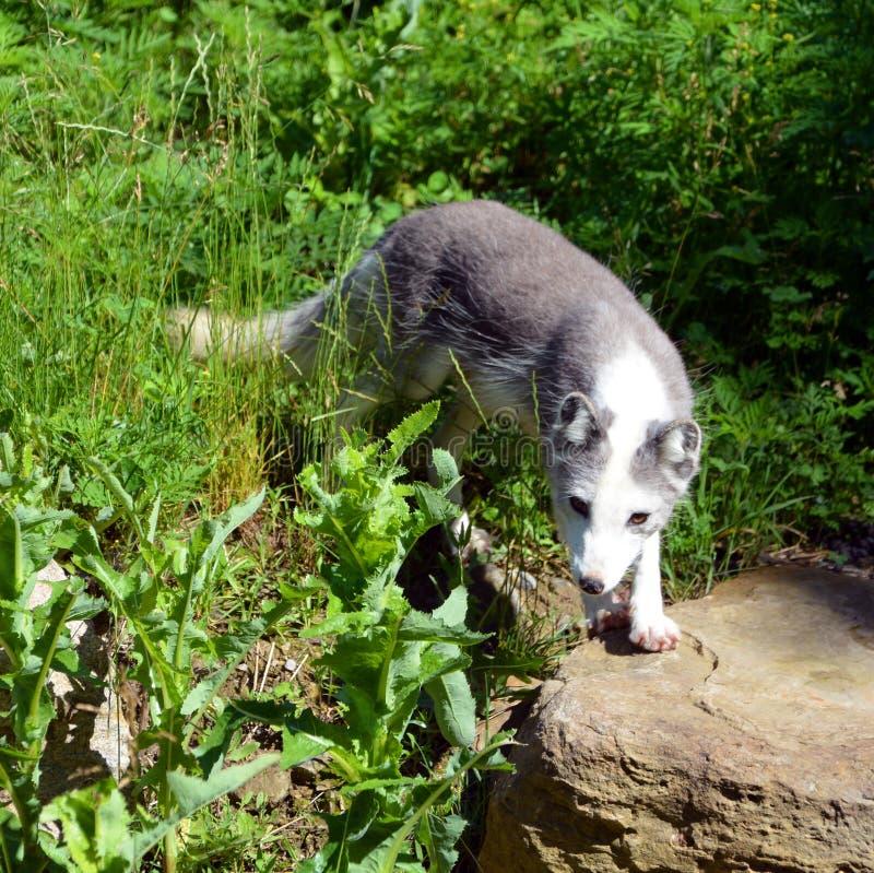 Arktyczny lis, także znać jako biały, biegunowy lub śnieżny lis, zdjęcia stock