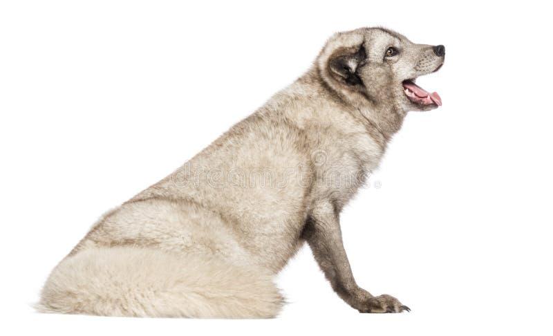 Arktyczny lis, Vulpes lagopus, obsiadanie, dyszący, odizolowywający na bielu zdjęcie stock