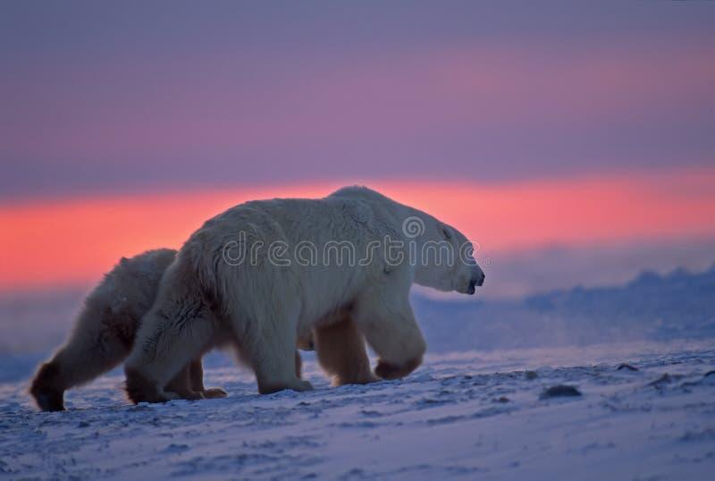 arktyczny niedźwiadkowego lisiątka biegunowy zmierzch obrazy stock