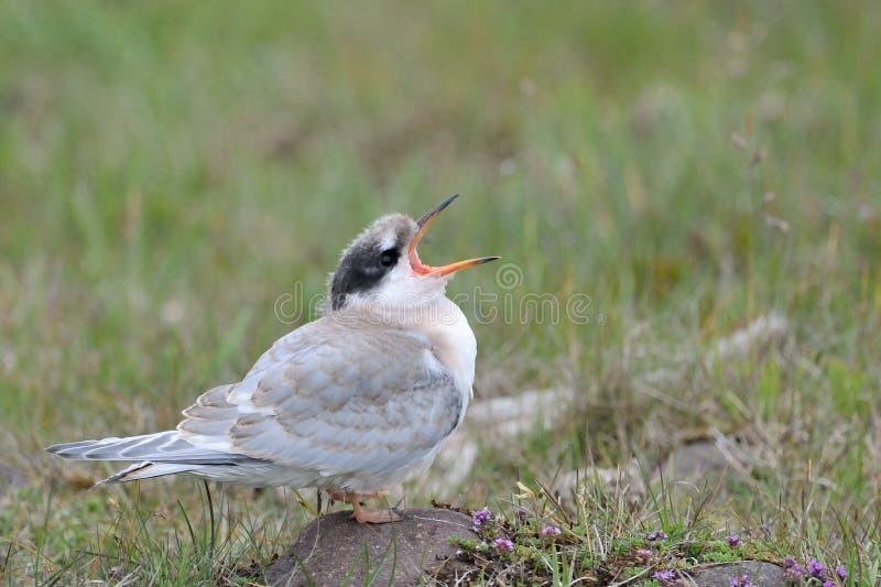 Arktyczny Tern zdjęcie royalty free