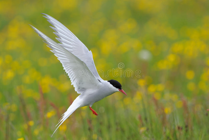 Arktyczny Tern fotografia stock