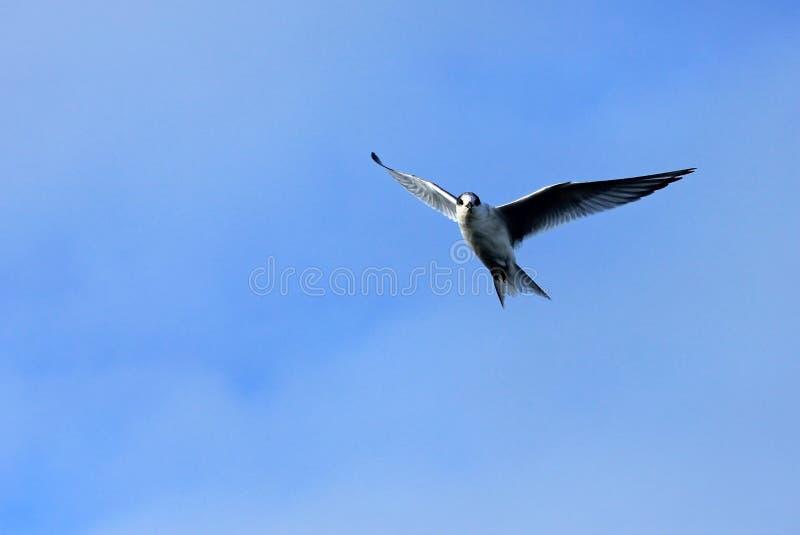 Arktyczny Tern latanie, Antarktyczny półwysep obrazy stock