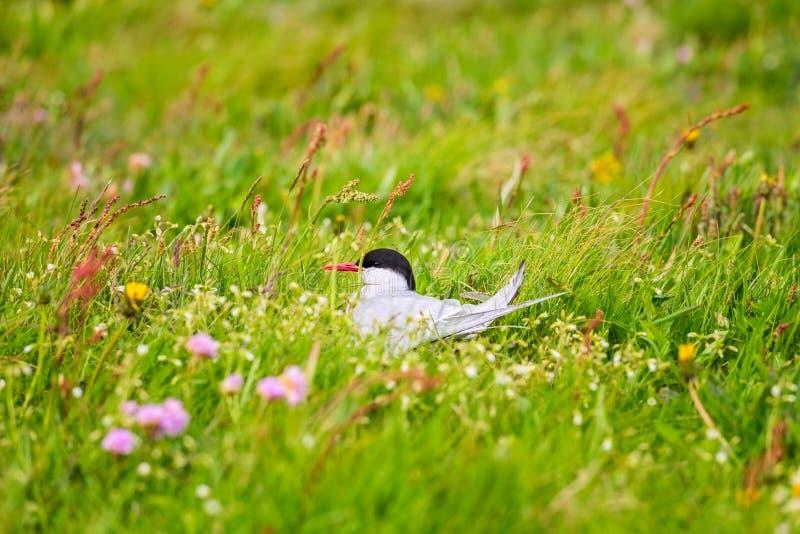 Arktyczny tern na gniazdeczku w kwiatonośnej łące Iceland, także znać jako denna dymówka zdjęcia royalty free