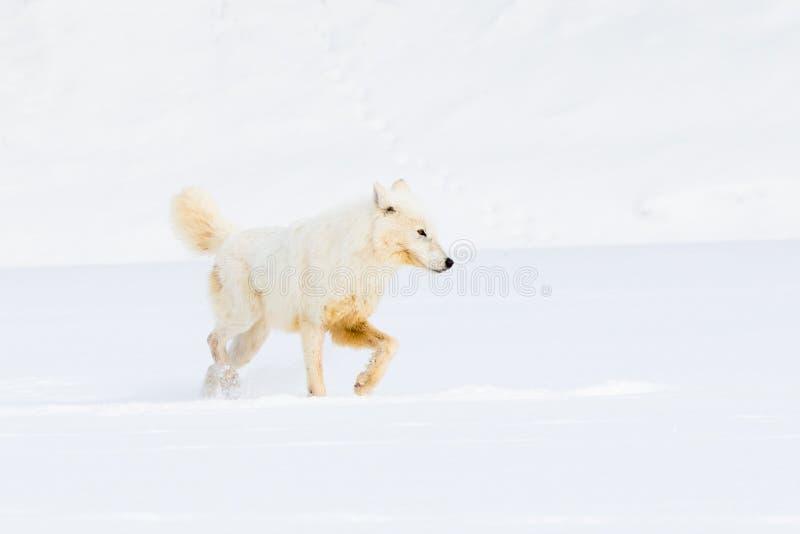 Arktyczny wilczy polowanie dla zdobycza fotografia stock