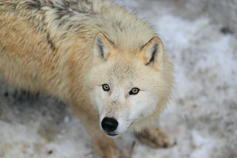 Arktyczny wilk zdjęcia royalty free