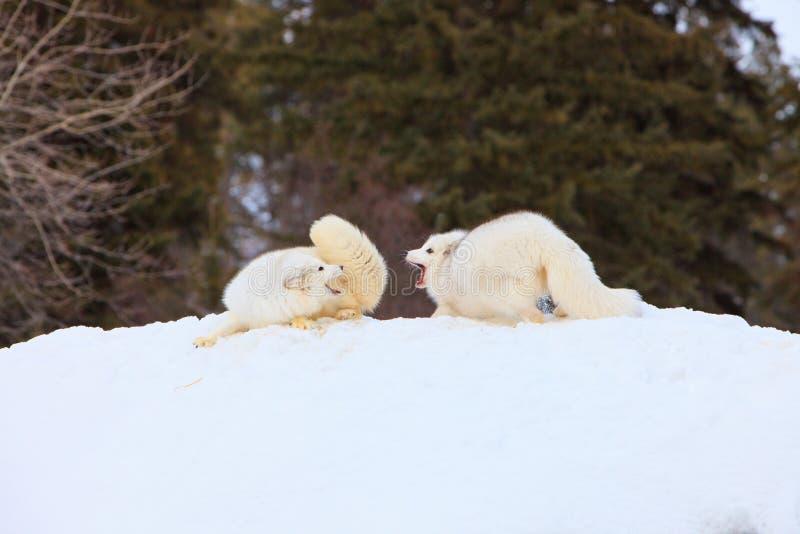 Arktycznych lisów dyskutować zdjęcie royalty free