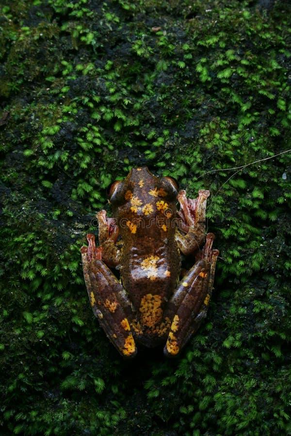 Arlekińska drzewna żaba fotografia royalty free