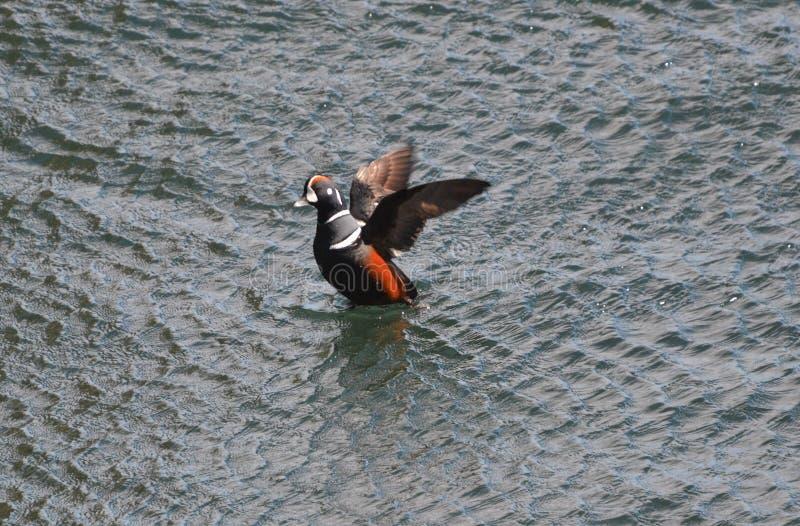 Arlequim que bate suas asas em Beavertail Jamestown fotografia de stock