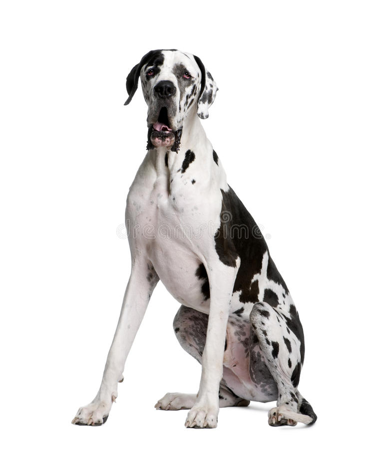 Arlequin Great Dane, 2 years old, sitting. royalty free stock photo