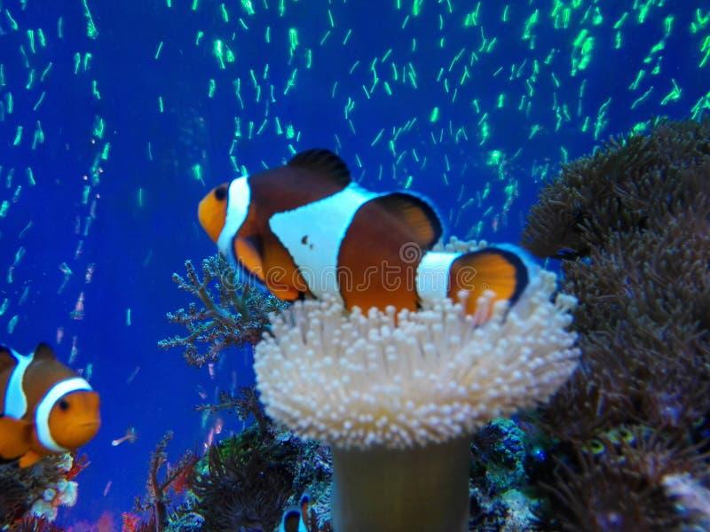 Arlequin ryba zdjęcie royalty free