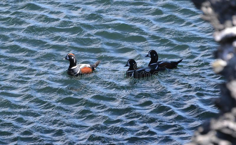 Arlequins para fora para uma nadada no beavertail Jamestown do oceano fotos de stock
