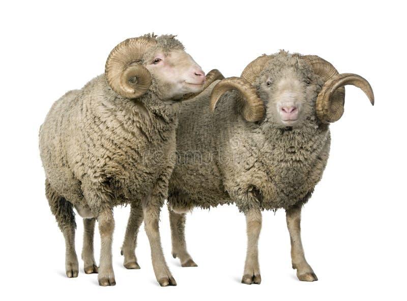 arles美利奴绵羊猛撞绵羊二 库存照片