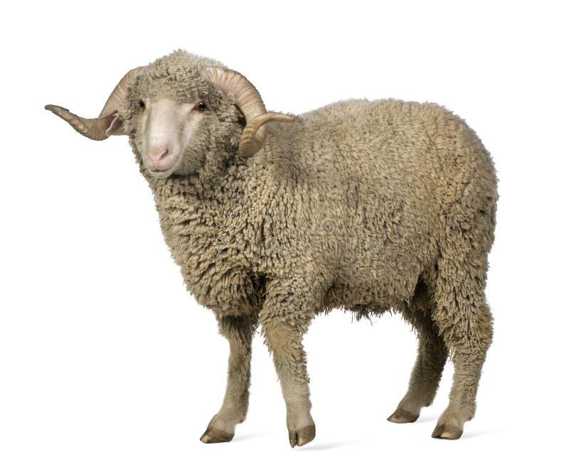 Download Arles Merino Sheep, Ram, 1 Year Old Stock Image - Image: 13665869