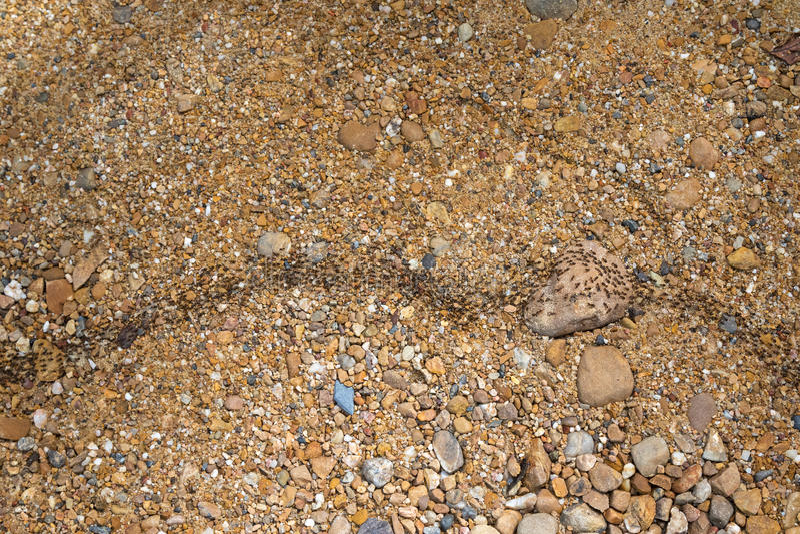 Armé av massor av svarta myror som går på kiselstenbanan royaltyfria foton