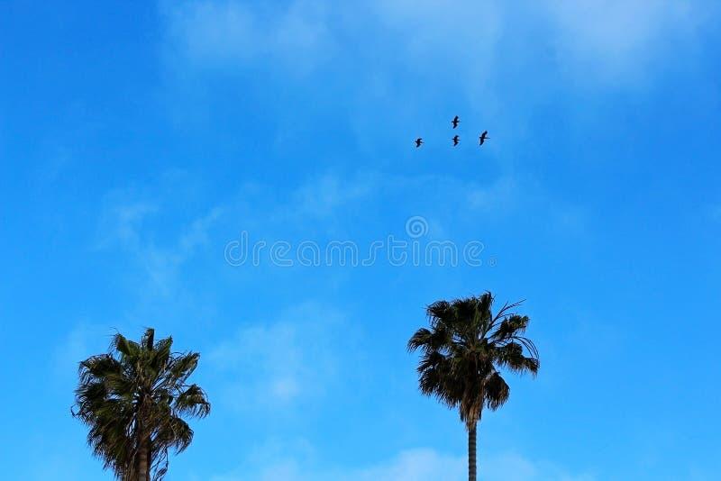 Armé av pelikan som flyger över den La Jolla lilla viken arkivbild