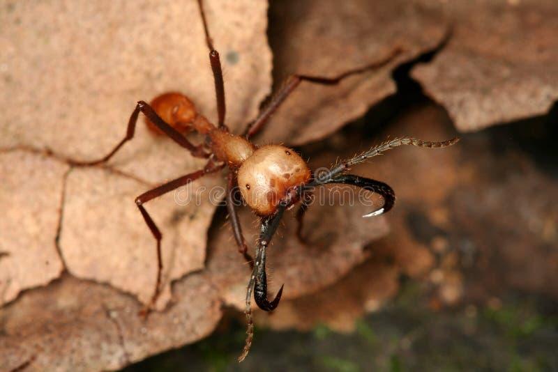 armée de fourmi images libres de droits