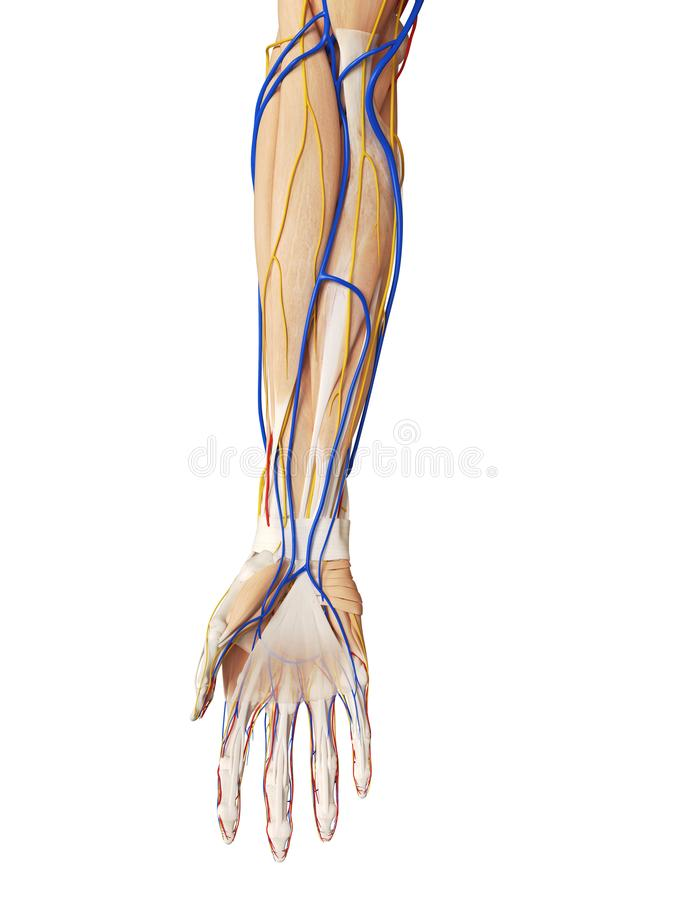 The arm anatomy vector illustration