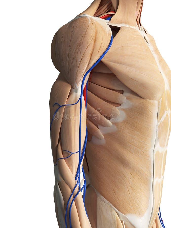 The arm anatomy royalty free illustration