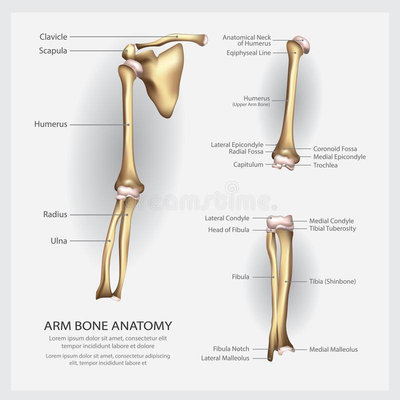 Arm Bone Anatomy With Detail Stock Vector Illustration Of