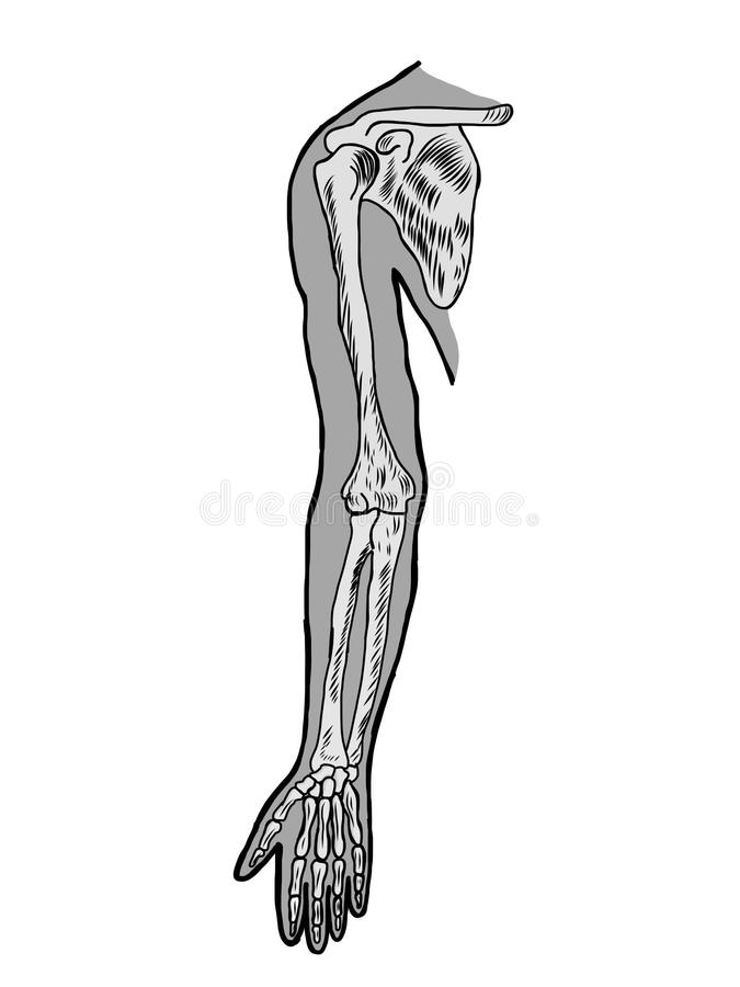 Arm bones anatomy scheme stock illustration. Illustration of brain ...