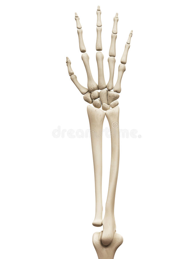 The arm bones stock illustration. Illustration of detail - 45574933