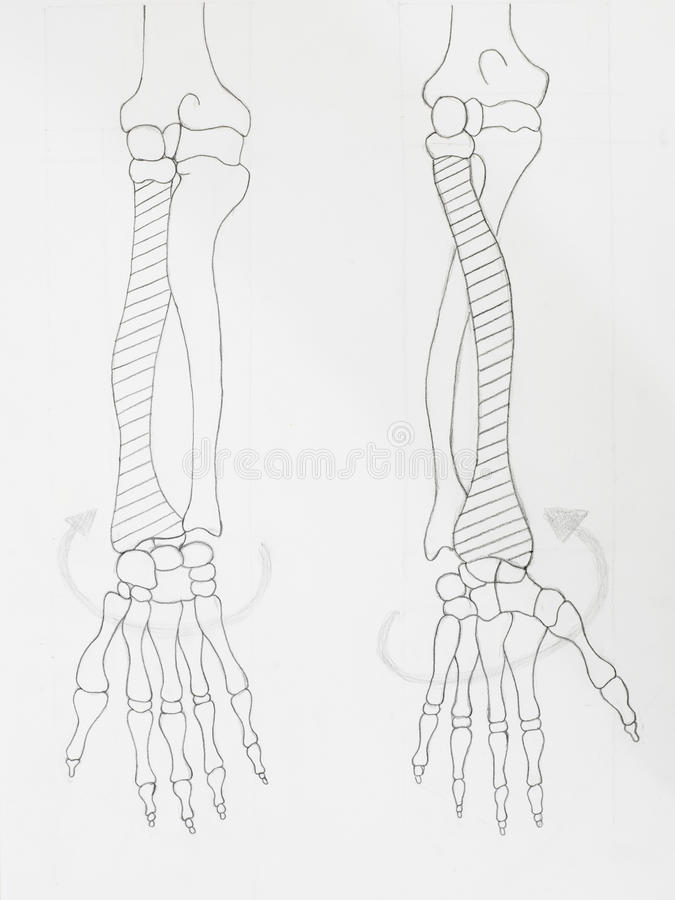 Arm bones pencil drawing. Detail of arm bones pencil drawing on white paper royalty free stock photography