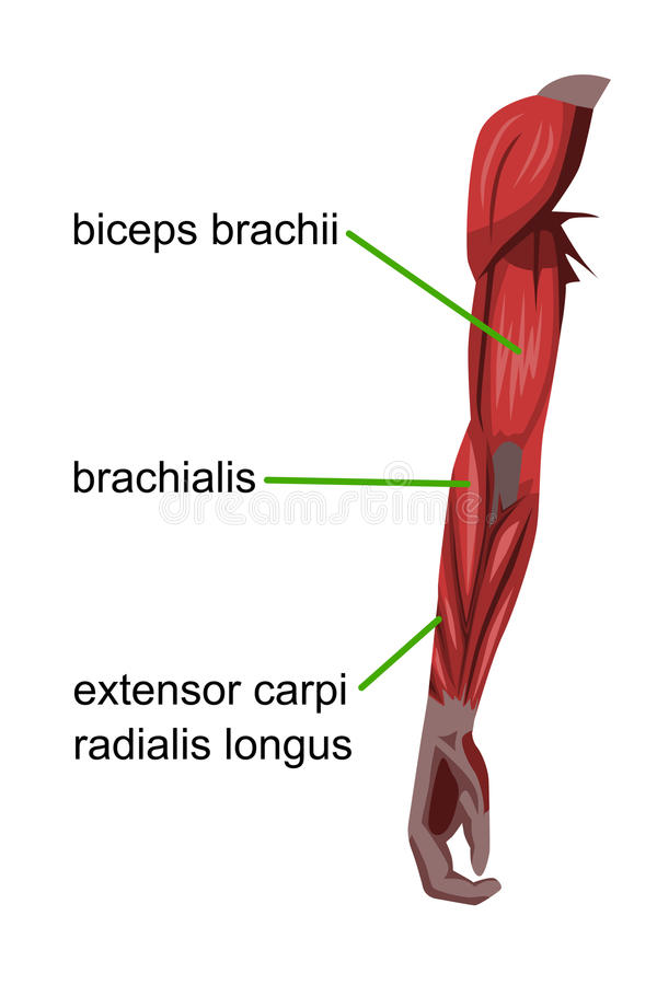 Arm muscles. A detailed illustration of the muscles of the arm vector illustration