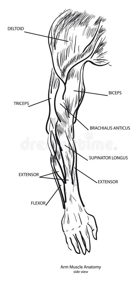 Arm-Muskel-Anatomie vektor abbildung. Illustration von hand - 16810983