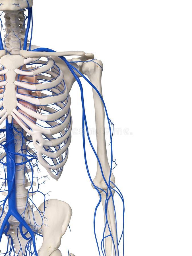 Arm- och skuldraåderna vektor illustrationer