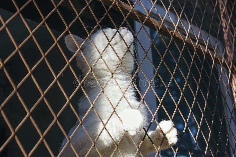 A armadilha branca do gato e é colada em uma rede de fio de aço, gaiola, esperando foto de stock royalty free
