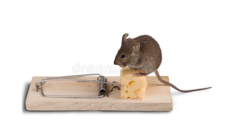 Armadilha do rato com queijo e rato fotografia de stock