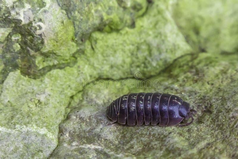 Download Armadillidiidaepissebed stock afbeelding. Afbeelding bestaande uit insect - 54092169