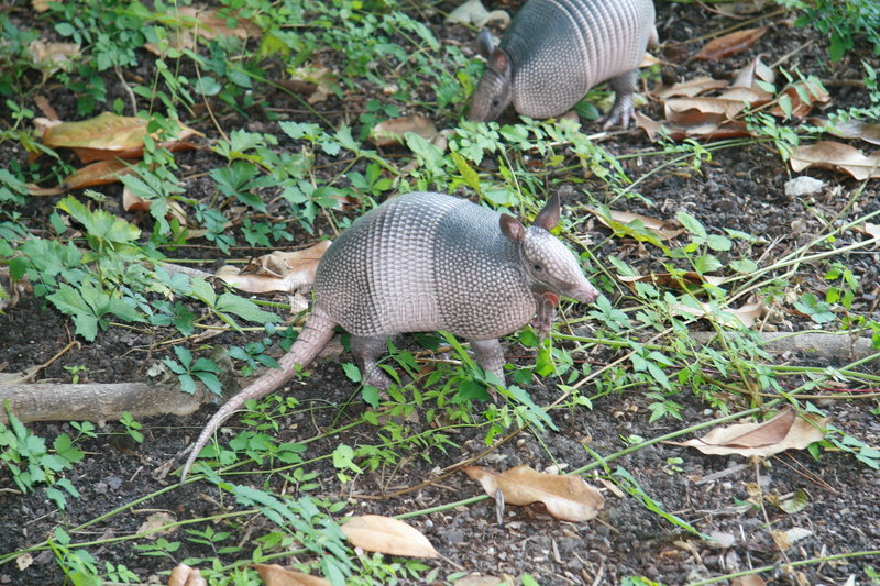 Armadillo stock image
