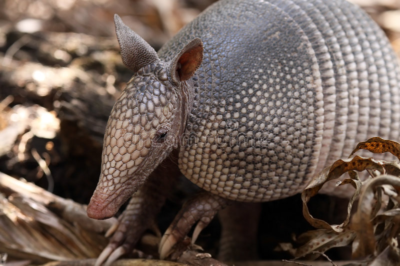 Armadillo stock images