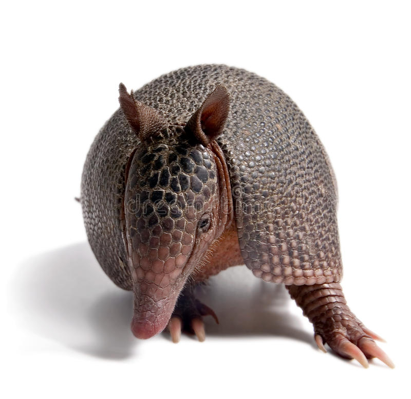 Armadillo. Mulita, Armadillo of six bands, on to white background royalty free stock images