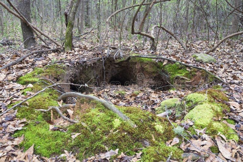 Armadillo Burrows en Georgia Wilderness fotografía de archivo
