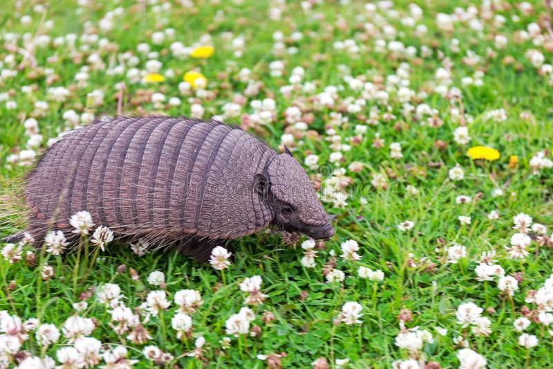 Armadillo Chaetophractus villosus in grass stock images