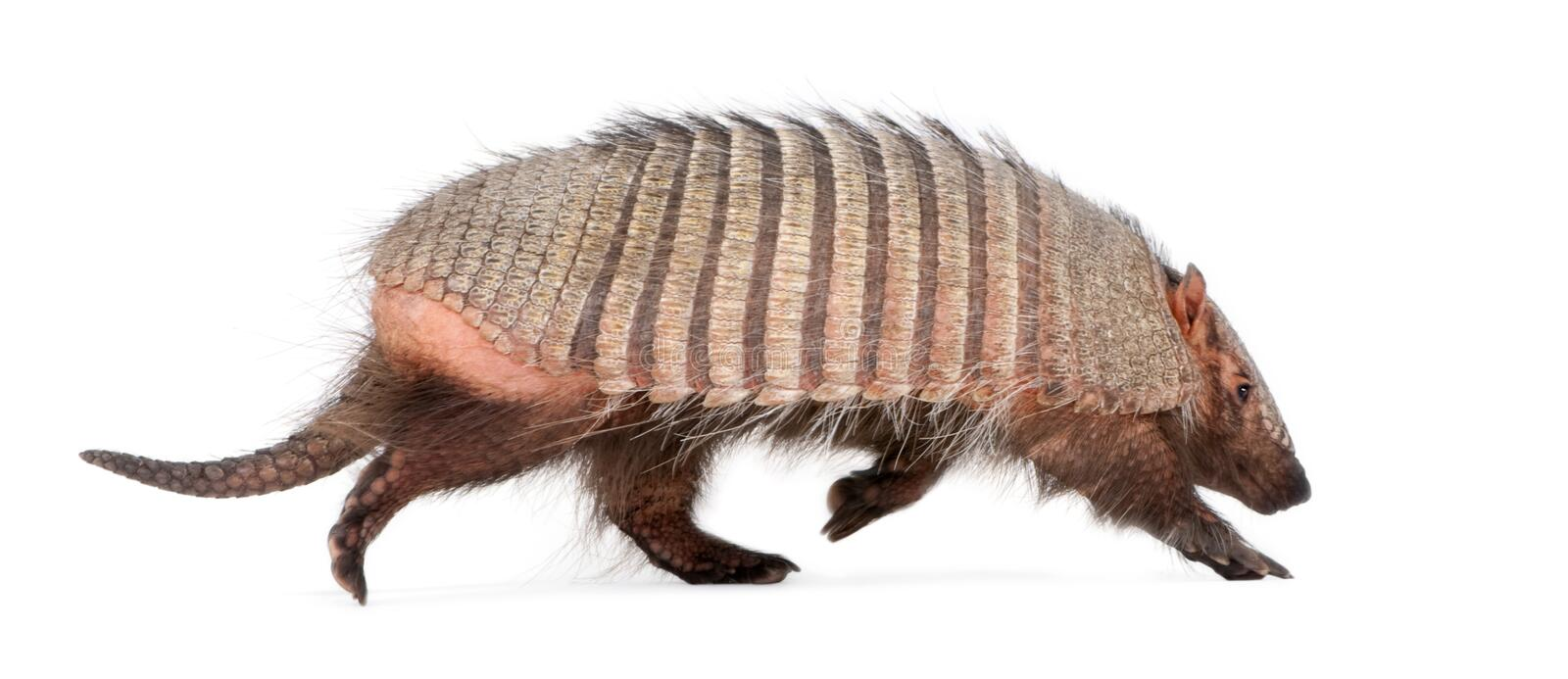 Armadillo - Dasypodidae - Cingulata royalty free stock photos