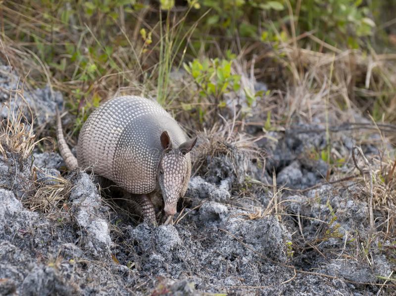 Armadillo digging stock images